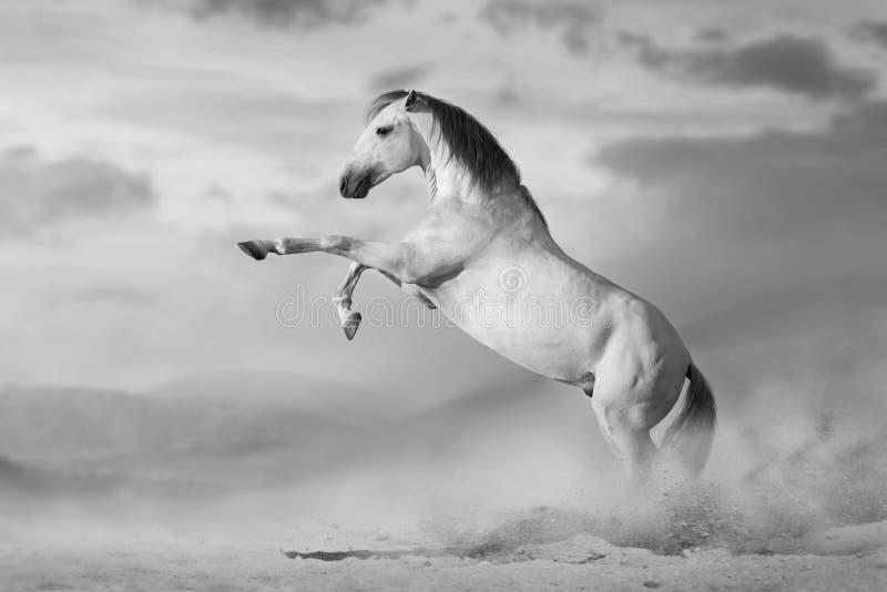 Cavallo bianco che si eleva su immagine stock libera da diritti