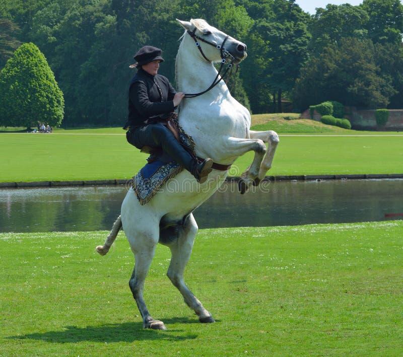 Cavallo bianco che si eleva su con il cavaliere in costume elisabettiano fotografia stock