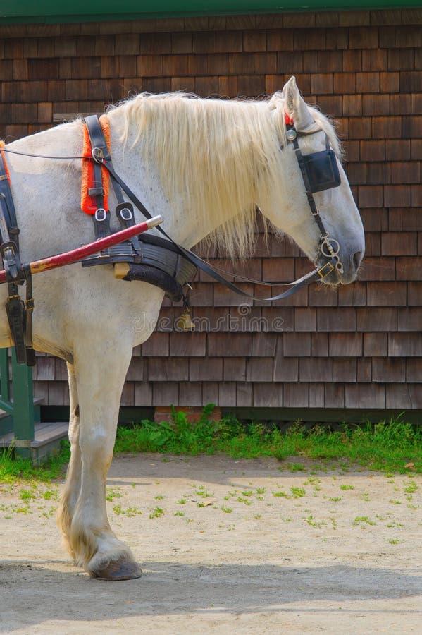 Cavallo bianco con i paraocchi immagine stock