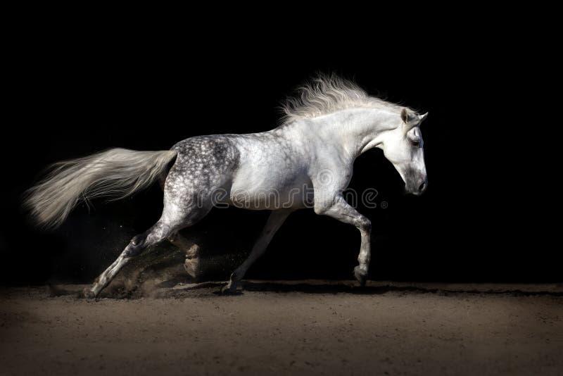 Cavallo bianco con la criniera lunga immagini stock