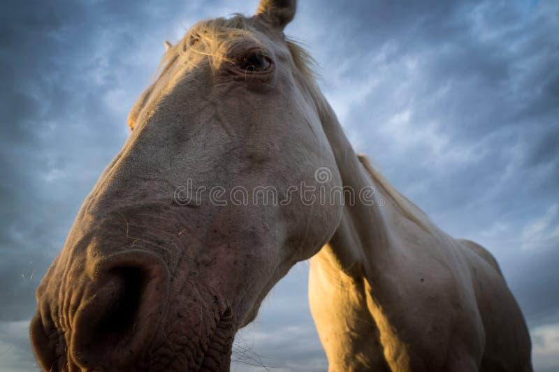 Cavallo bianco contro il cielo scuro fotografie stock libere da diritti