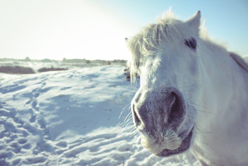 Cavallo bianco curioso che posa nella macchina fotografica immagini stock