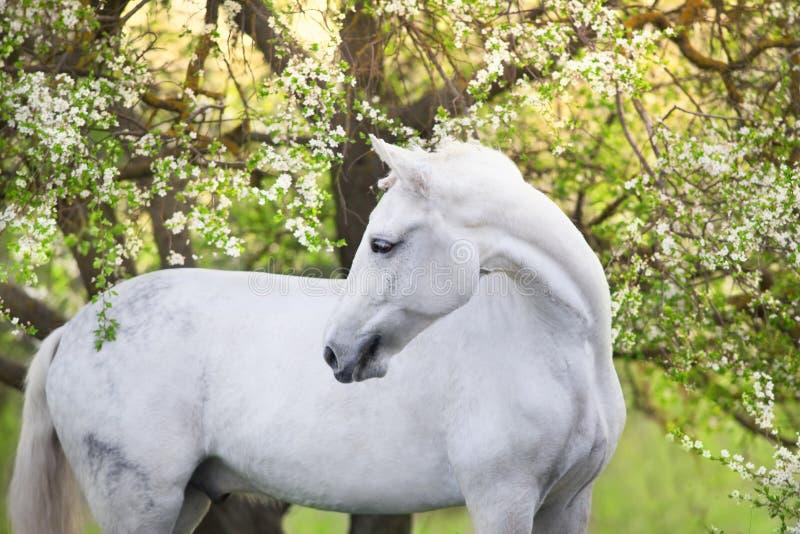 Cavallo bianco della molla fotografie stock libere da diritti