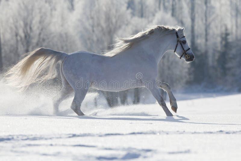 Cavallo bianco di Lingua gallese che funziona in inverno fotografia stock