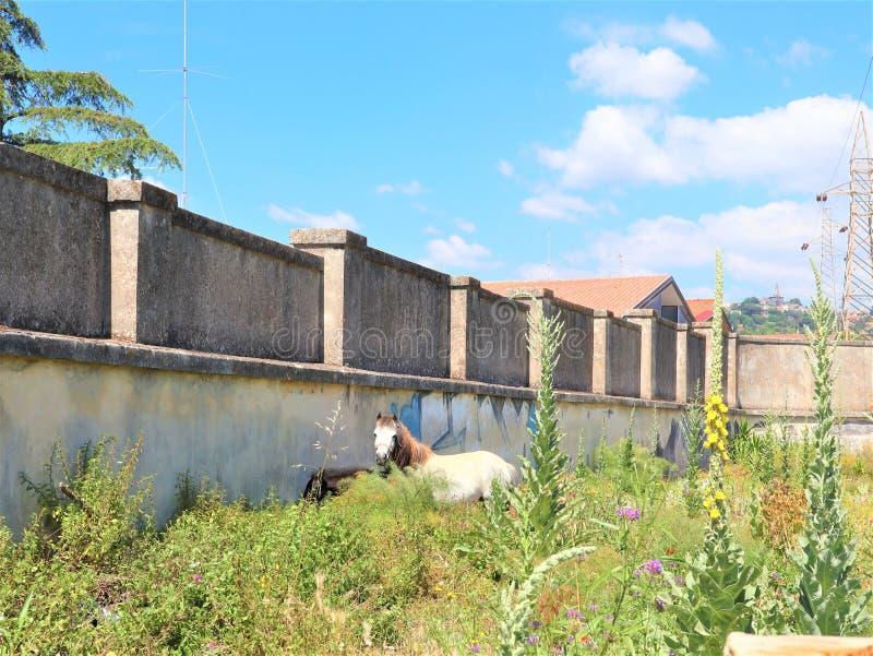 Cavallo bianco ed il suo piccolo puledro che pascono sul prato verde al bello giorno soleggiato, mangiante erba immagine stock
