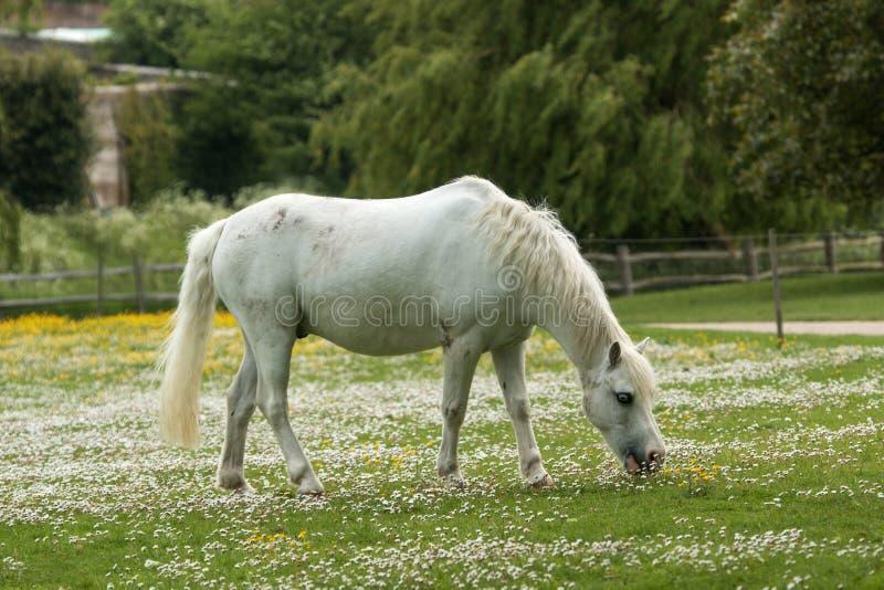 Cavallo bianco, fiori bianchi fotografie stock libere da diritti