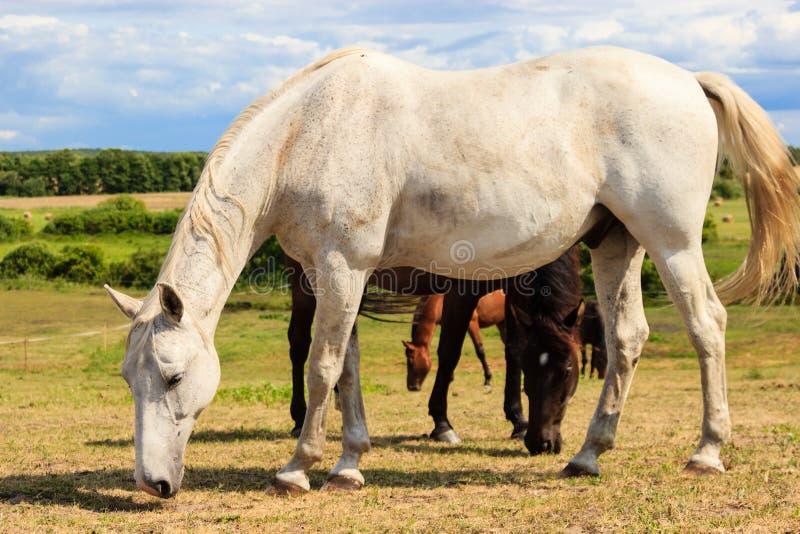Cavallo bianco grazioso maestoso in prato fotografia stock libera da diritti
