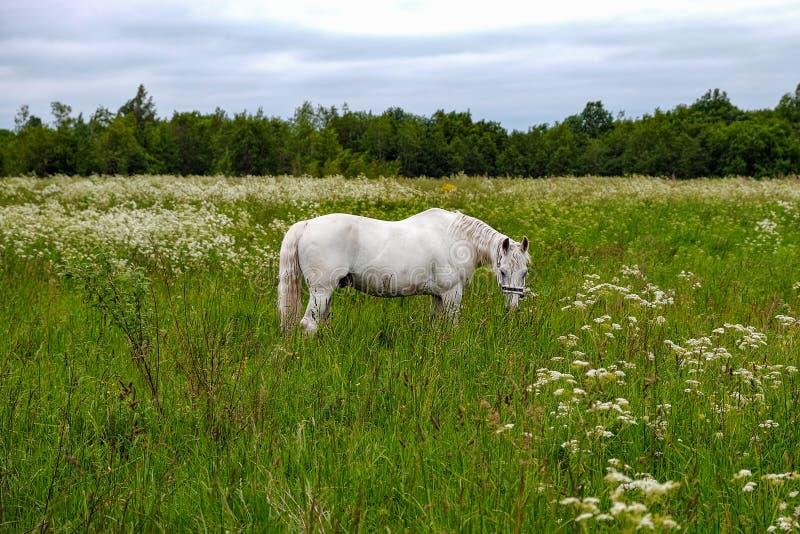 Cavallo bianco grazioso in un campo immagine stock