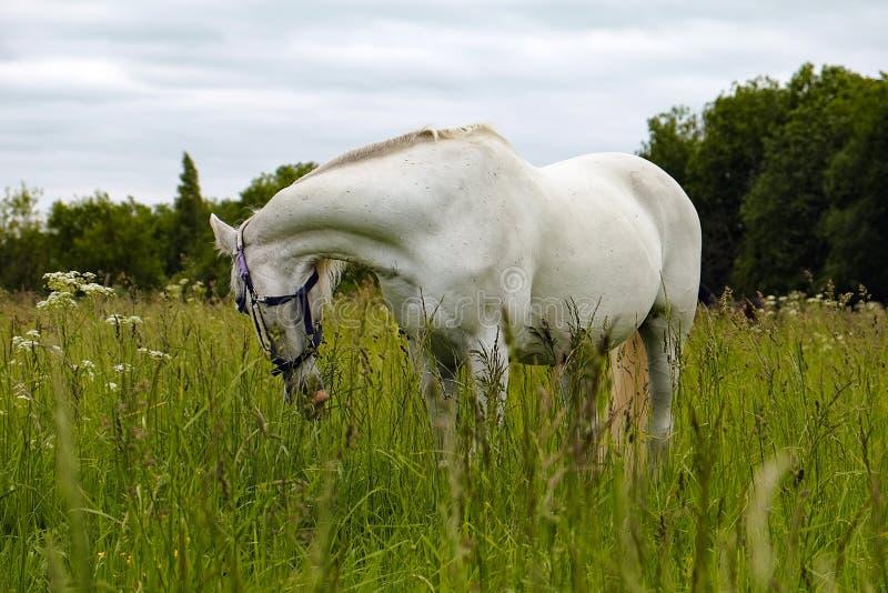 Cavallo bianco grazioso in un campo fotografia stock