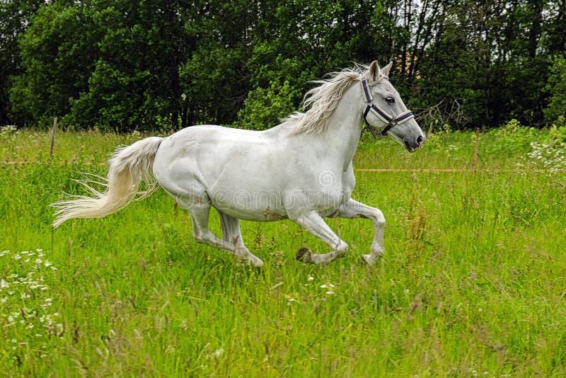 Cavallo bianco grazioso in un campo immagini stock libere da diritti