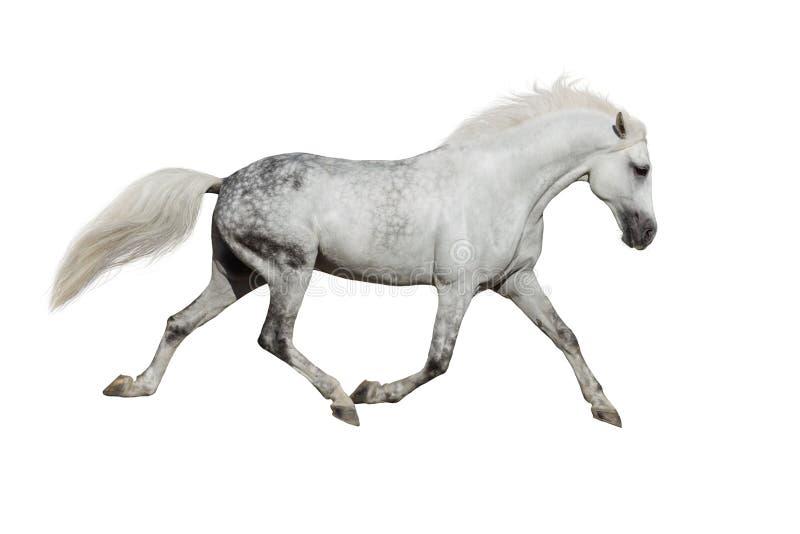 Cavallo bianco isolato immagini stock libere da diritti