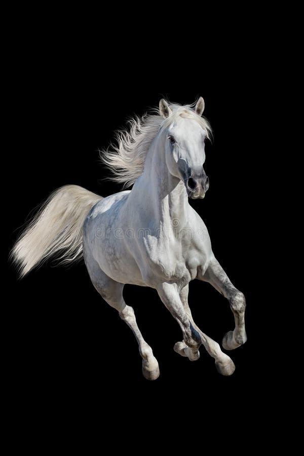 Cavallo bianco isolato fotografie stock