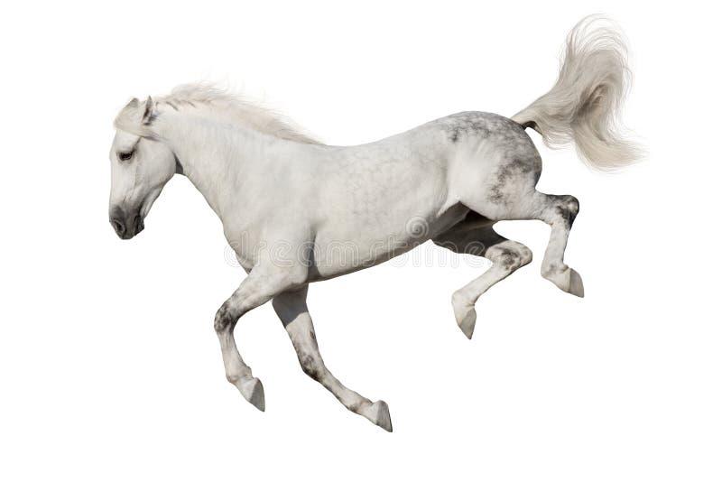 Cavallo bianco isolato fotografia stock libera da diritti