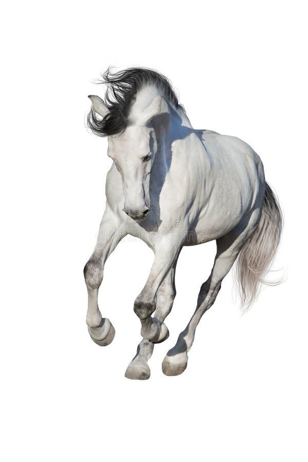 Cavallo bianco isolato su bianco immagini stock