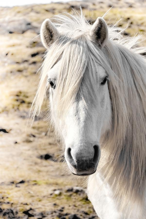 Cavallo bianco isolato su erba fotografia stock