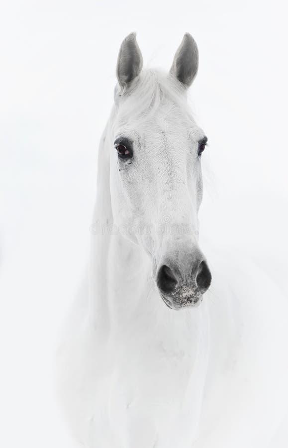 Cavallo bianco nell'alto tasto immagine stock