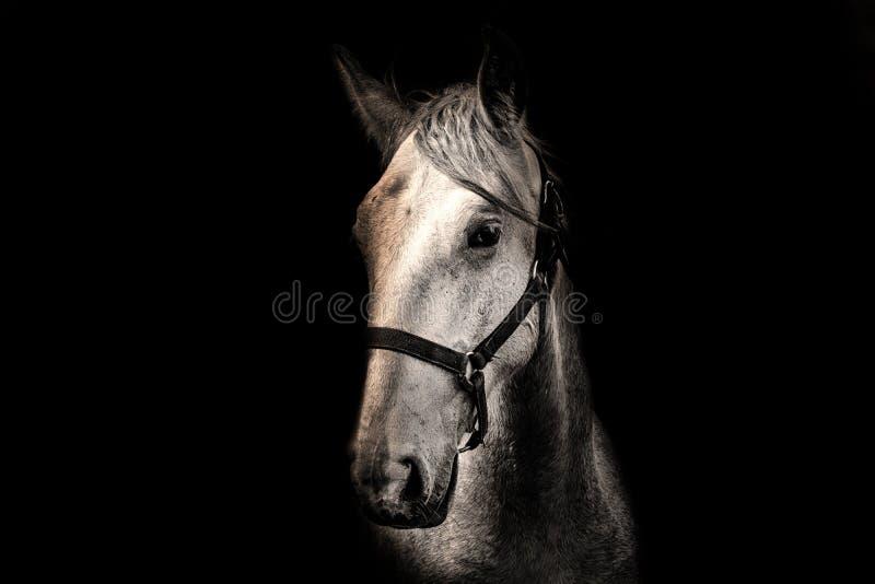 Cavallo bianco sui precedenti neri fotografia stock