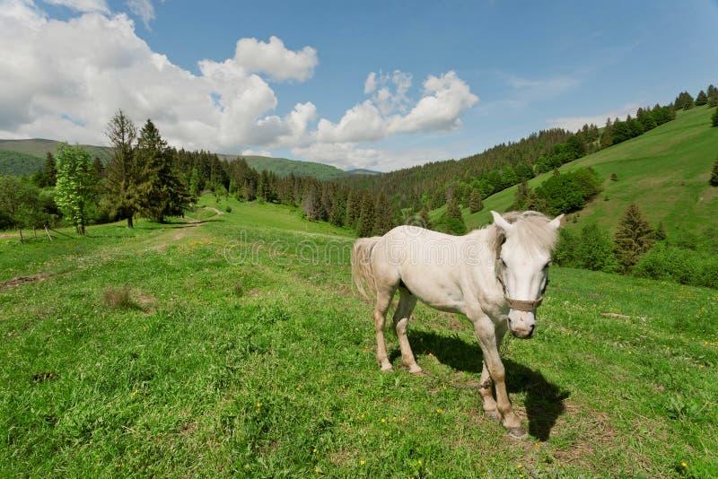 Cavallo bianco sul pascolo della montagna Paesaggio rurale nella valle della montagna immagine stock