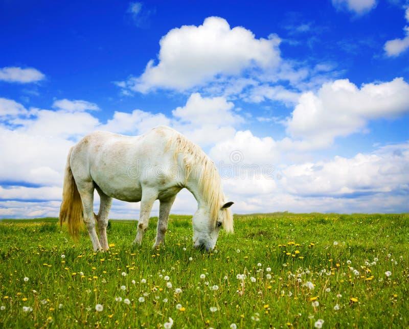 Cavallo bianco sul prato fotografia stock libera da diritti