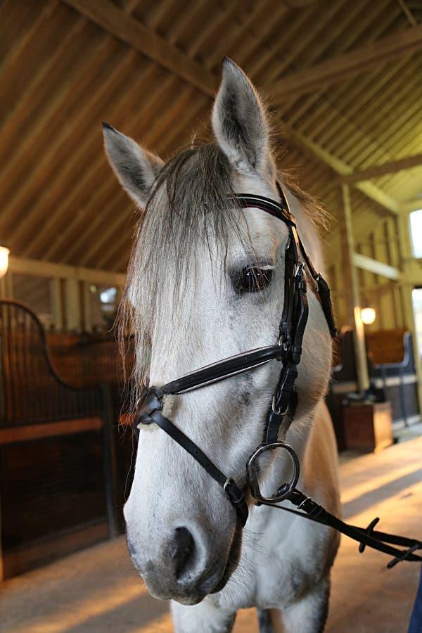 Cavallo bianco in un granaio immagini stock