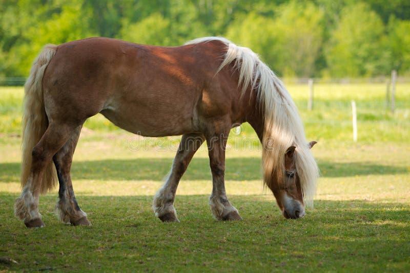Cavallo biondo fotografia stock libera da diritti