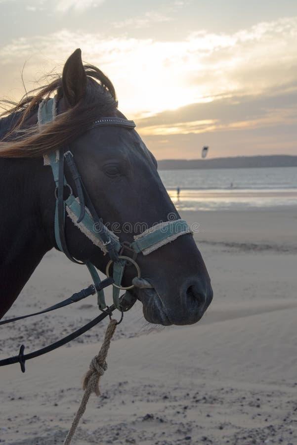 Cavallo in cablaggi blu fotografia stock libera da diritti