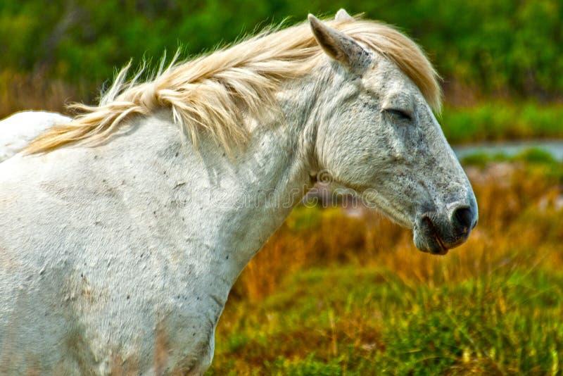 Cavallo in Camargue fotografia stock