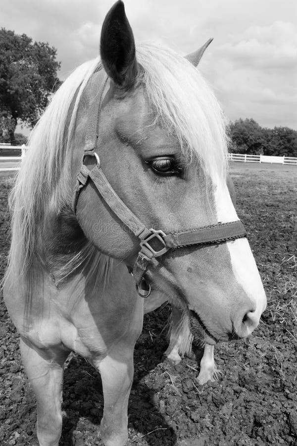 cavallo capo immagini stock