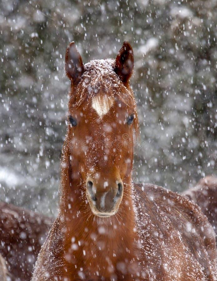 Cavallo castrato arabo della castagna nella tempesta della neve fotografia stock