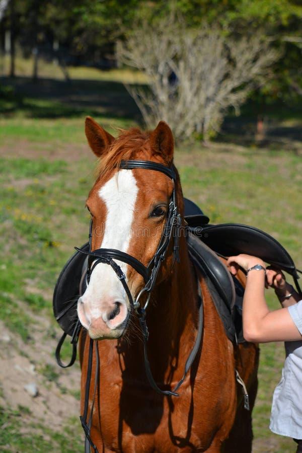 Cavallo che è fissato su immagini stock libere da diritti