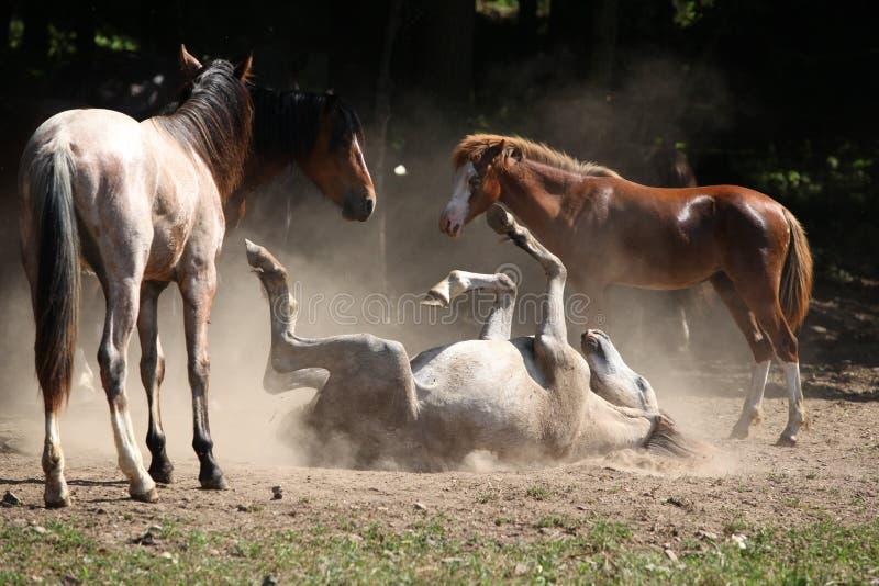 Cavallo che arriva a fiumi la polvere fotografie stock