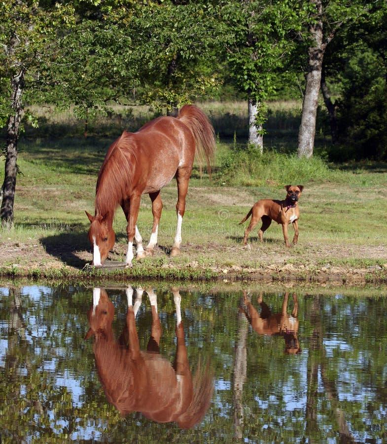 Cavallo che beve dallo stagno fotografie stock libere da diritti