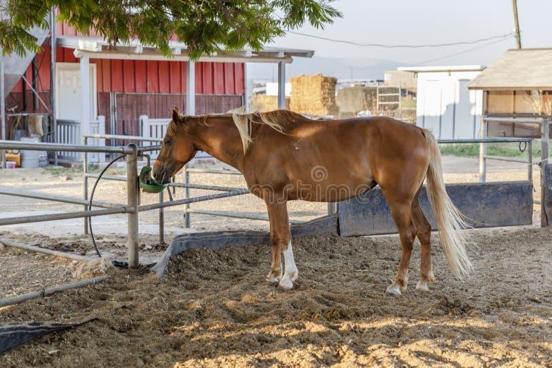 Cavallo che beve nella recinzione dell'azienda agricola fotografia stock