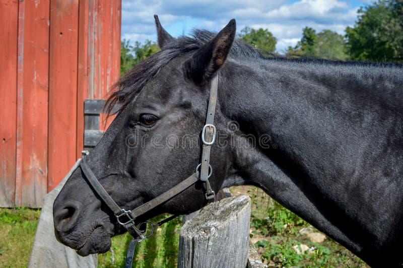 Cavallo che esamina recinto dal granaio rosso fotografia stock libera da diritti