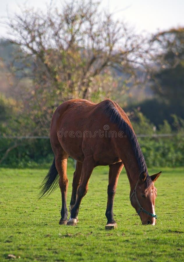Cavallo che pasce fotografia stock