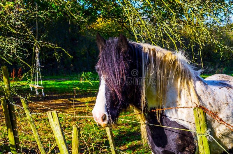 Cavallo che pasce in un pascolo, azienda agricola recintata, environm rurale del paese fotografia stock