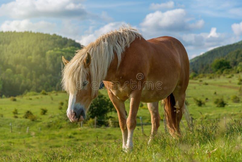 Cavallo che pasce in un pascolo con erba fotografie stock libere da diritti