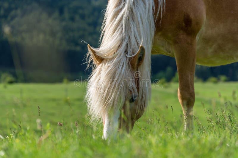 Cavallo che pasce in un pascolo con erba fotografia stock