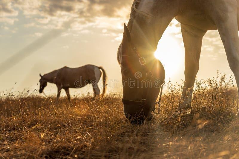 Cavallo che pasce in un pascolo con erba al tramonto fotografia stock