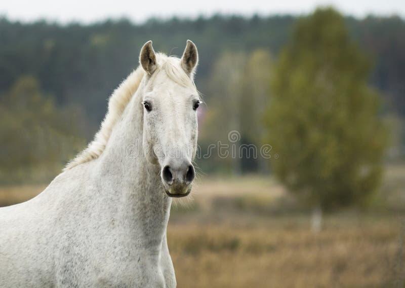 cavallo che sta in un campo su un'erba asciutta in autunno immagine stock