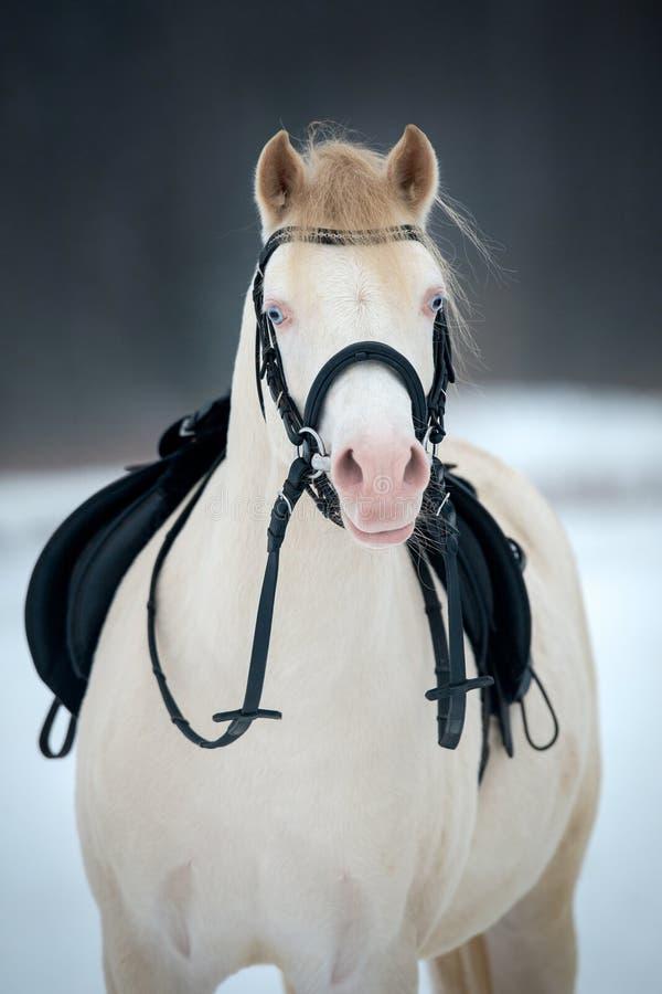 Cavallo con la sella e briglia nell'inverno. immagini stock libere da diritti