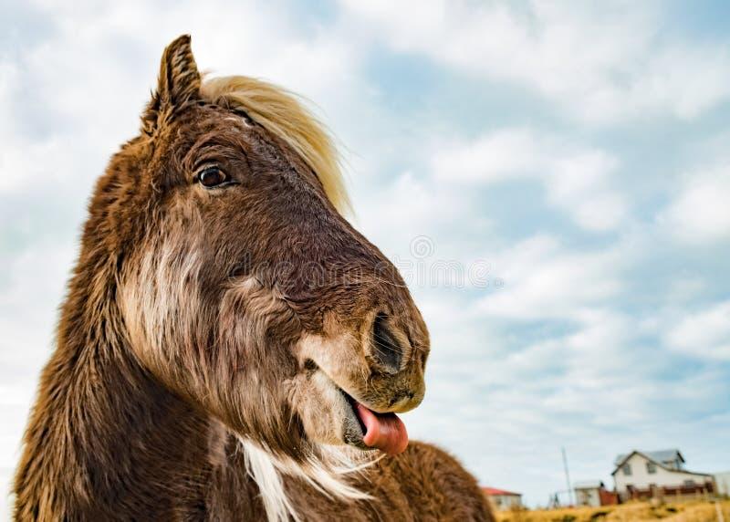 Cavallo con la sua lingua fuori fotografia stock libera da diritti