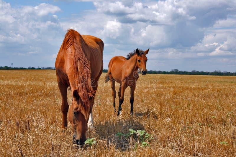 Cavallo con un foal fotografie stock