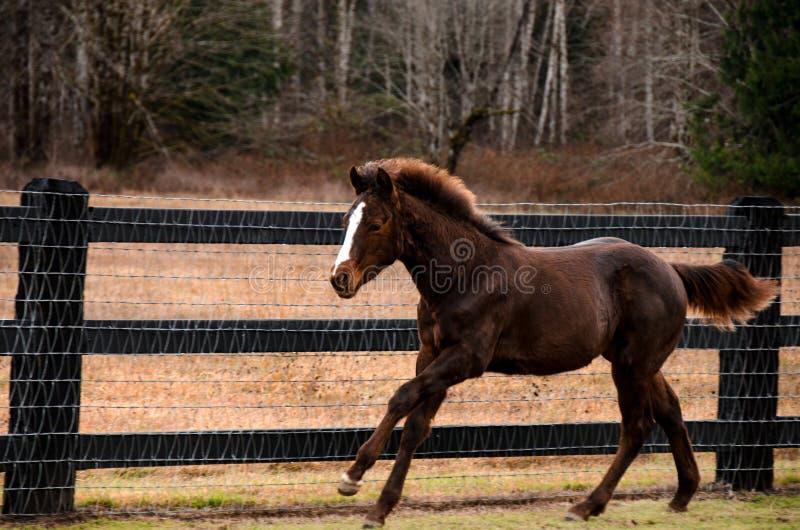 Cavallo corrente nel campo immagini stock libere da diritti