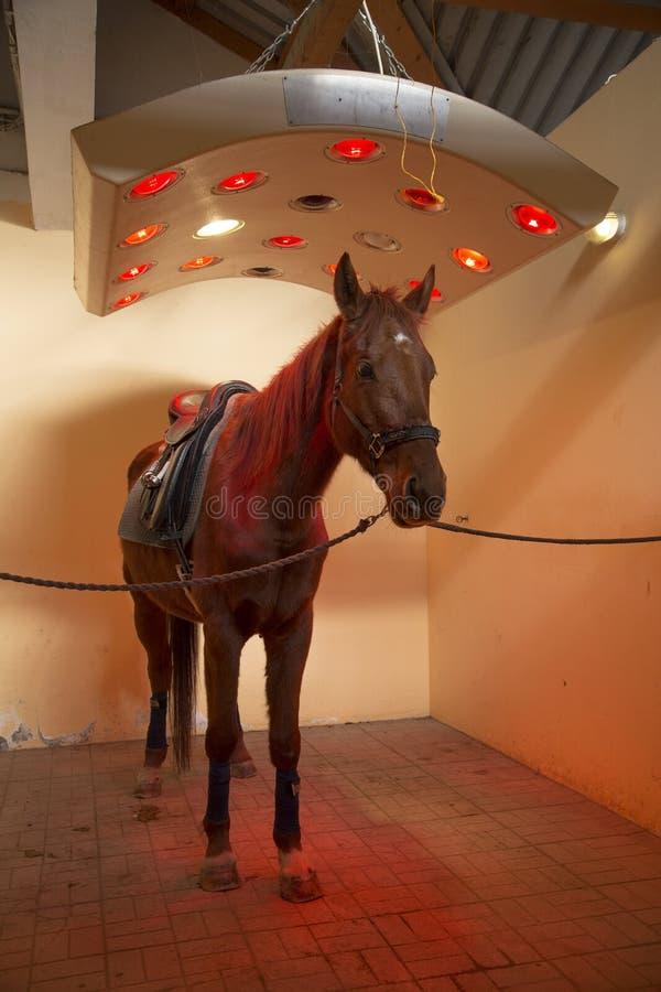Cavallo da corsa di razza che prende il sole nel solarium speciale per i cavalli immagine stock libera da diritti