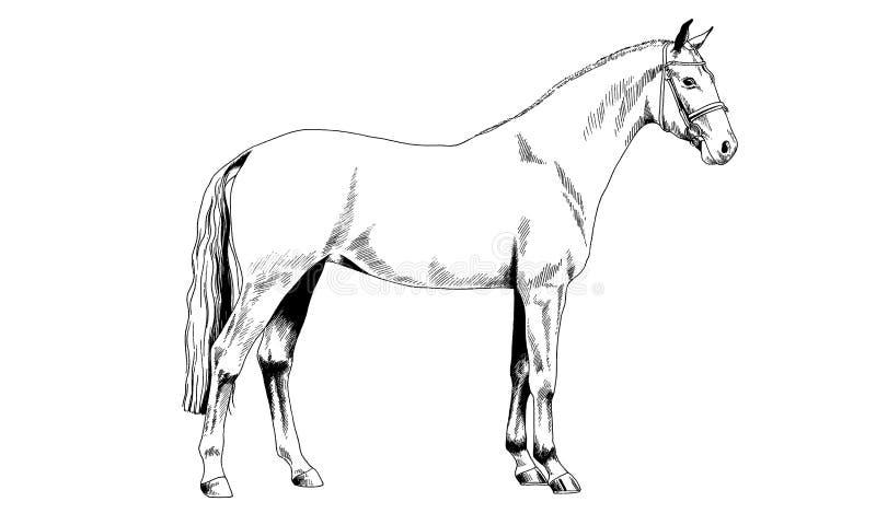 Cavallo da corsa senza un inchiostro assorbito cablaggio a mano su fondo bianco immagine stock