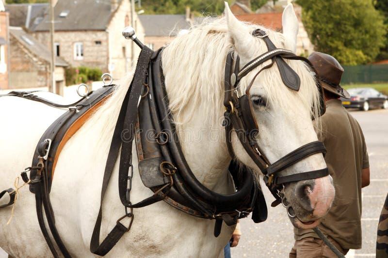 Cavallo da tiro fotografia stock libera da diritti