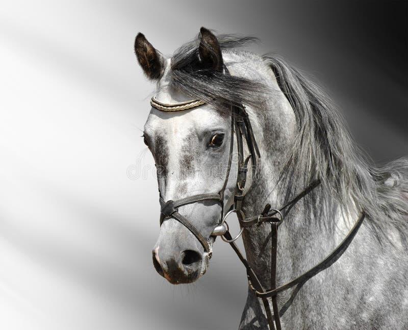 Cavallo Dapple-grigio (arabo) Fotografia Stock Libera da Diritti