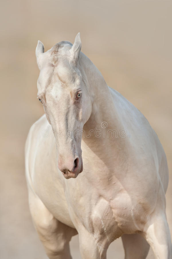 Cavallo del akhal-teke di Perlino nel moto fotografia stock