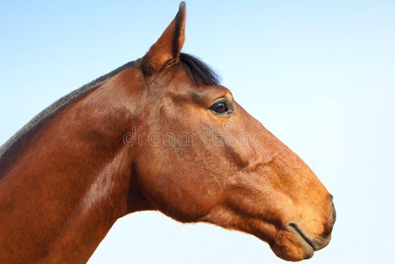 Cavallo del bloodstock immagine stock libera da diritti
